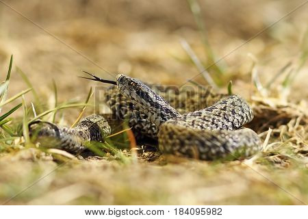 beautiful male meadow viper ready to bite this is one of the rarest species of snakes in Europe listed as endangered in IUCN list ( Vipera ursinii rakosiensis )