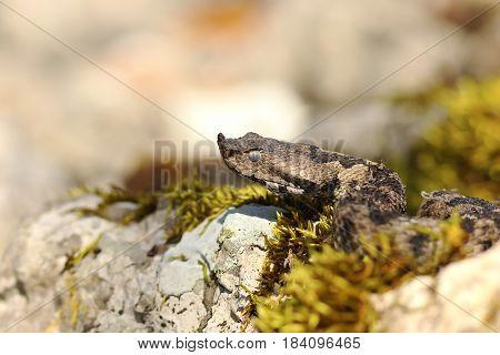 nose horned viper portrait in natural habitat ( Vipera ammodytes )
