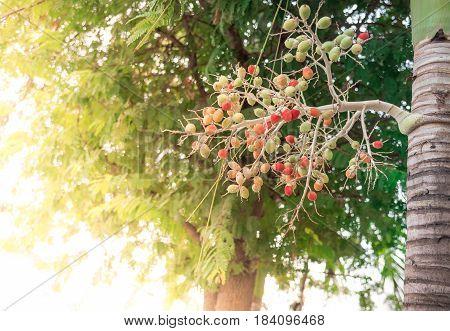 Red Sealing wax palm Lipstick palm .