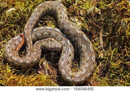 male nose horned viper basking in natural habitat ( Vipera ammodytes )