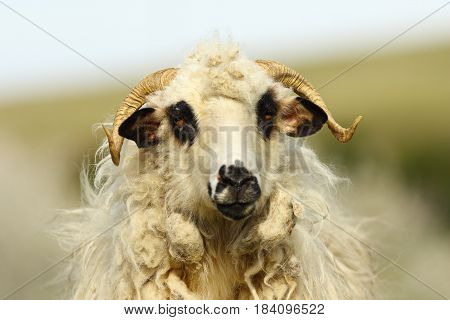 portrait of fluffy white ram over out of focus background