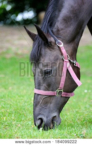 Black Horse Eats In Spring Pasture. Close-up Of Head Of Horse Eating Grass