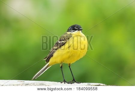A stunning Yellow Wagtail (Motacilla flava) sitting. Green background