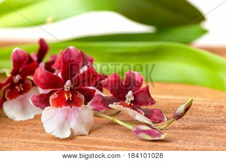 Blooming Twig Red And White Orchid Flower, Cambria With Green Leaves On Wooden Background, Close Up