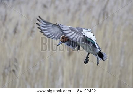 Eurasian wigeon in flight with vegetation in the background