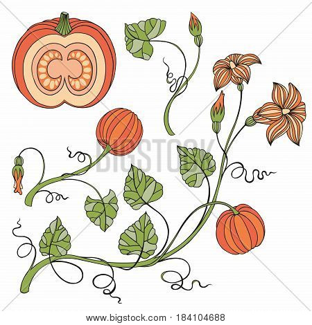 Pumpkin. Vector set with pumpkins and branches. Illustrations for decorating surfaces creating patterns decorating kitchen tools