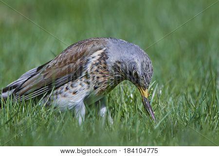 Fieldfare (Turdus pilaris) standing in grass with a earthworm in its beak