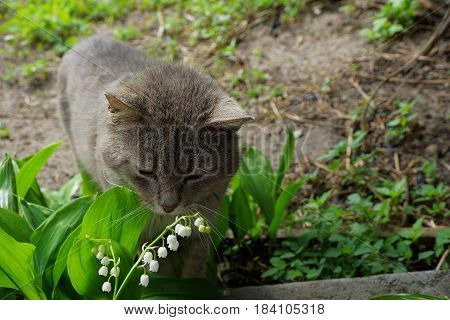Gray cat smelling white flowers in the garden