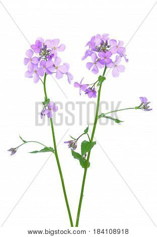 Dame's Rocket (Hesperis matronalis) flower isolated on white background