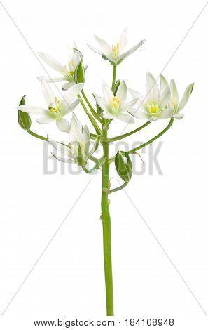Ornithogalum flower isolated on a white background