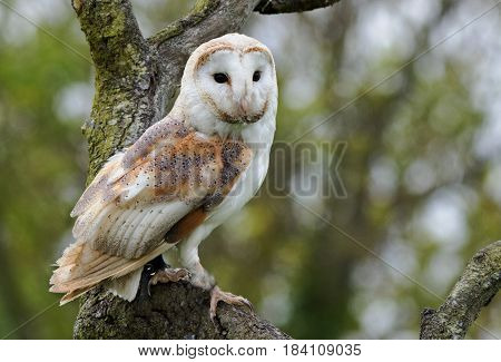 Close up of a Barn Owl head and face - side profile