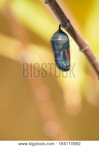 Monarch butterfly chrysalis getting ready to emerge on milkweed branch. Copy space.