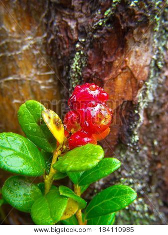Cowberry with raindrops against the background of a tree