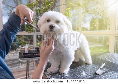 Grooming the neck of adorable white dog by scissors. All potential trademarks are removed.