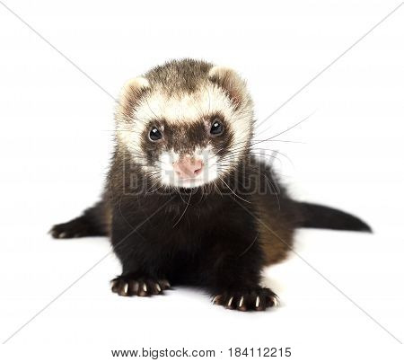 Grey ferret isolated on a white background