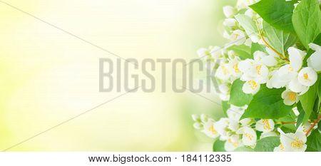 Jasmine flowers and leaves over sunlit garden bokeh background banner