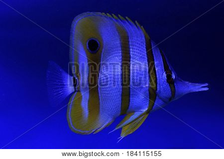 Little beautiful saltwater fish on a blue background