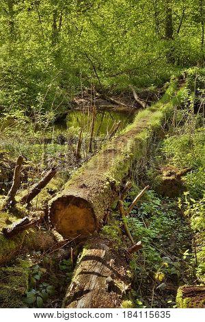 fallen tree trunk over Robecsky potok creek in spring Peklo valley in czech tourist area Machuv kraj
