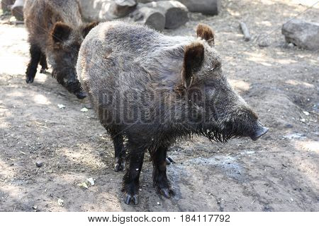 animal wild big boar in zoo forest