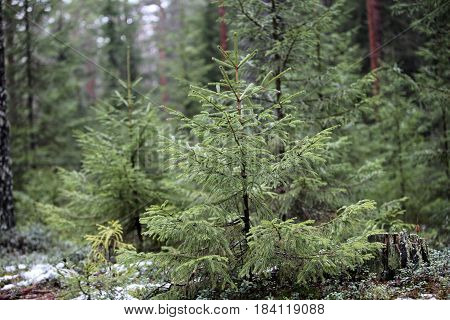 the Small green spruce winter evergreen forest