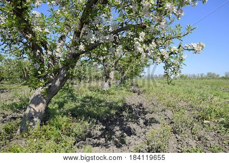 Blooming Apple Orchard. Adult Trees Bloom In The Apple Orchard. Fruit Garden