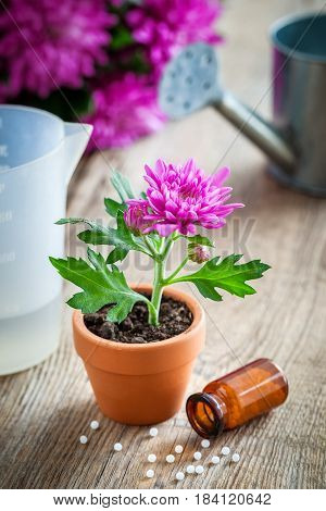Homeopathic Remedies For Houseplants And Crops, Chrysanthemum Flower In Pot And Watering Can. Natura