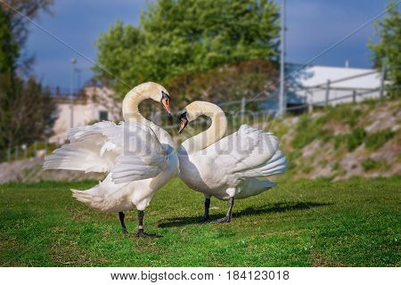 poster of Couple of White swans on the riverbank - love and romance