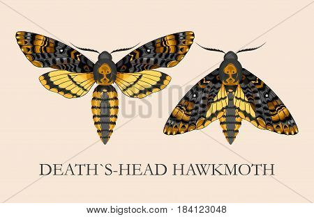 Vector illustration of high-detailed deaths-head hawk moth