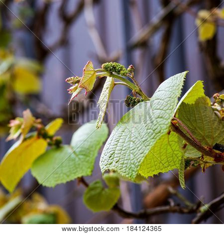 Boston Ivy (parthenocissus Tricuspidata) Young Vine Leaves