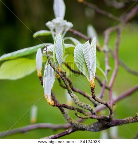 Sorbus Aria 'lutescens', Golden Whitebeam, In Bud