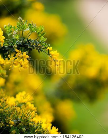 Yellow Flowers Of The Common Gorse Bush With A Blurry Background