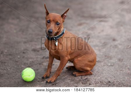 A Small Zwergpinscher Is Sitting Wearily Next To His Ball At Walk.