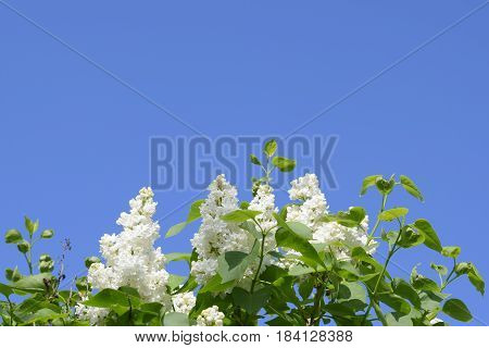White Lilac. Beautiful Purple Lilac Flowers Outdoors.