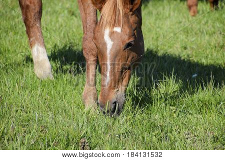 Horses Graze In The Pasture. Paddock Horses On A Horse Farm. Walking Horses