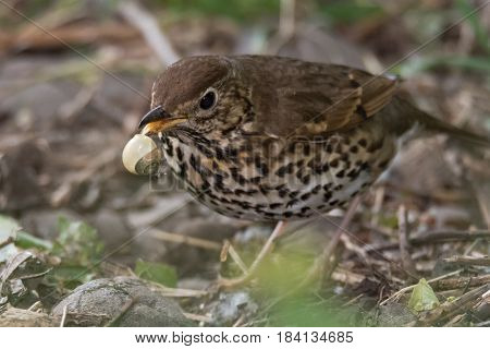 Song thrush (Turdus philomelus) with broken snail in beak. Songbird in the family Turdidae in process of smashing snail on rock before eating