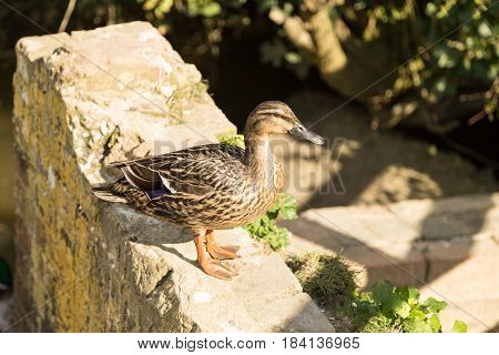 Duck On The Wall