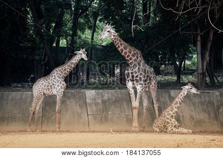 Mother and son of Specie Giraffa camelopardalis family of Giraffidae.