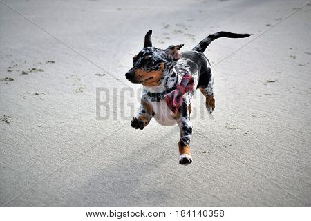 A Happy Dog on the beach running and playing!
