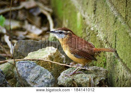 A song bird huddles low along a brick wall.