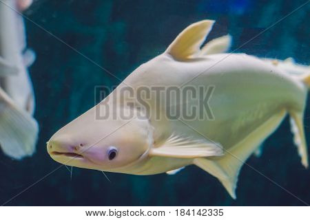 Large White Fish With A Hump In A Tropical Aquarium