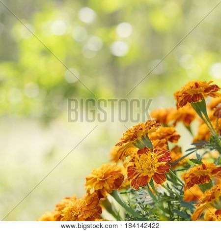 A square view of bright gold yellow and orange marigold flowers against sunny daylight bokeh background for greeting card