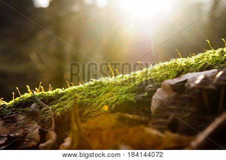 Sun beams on growing tiny fir tree Pinus over forest background, flare lighting effect