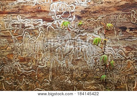 Rotten wooden tree bark with termite tracks and young wild plant vine