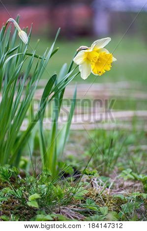 Narcissus pseudonarcissus (commonly known as wild daffodil or Lent lily) is a perennial flowering plant