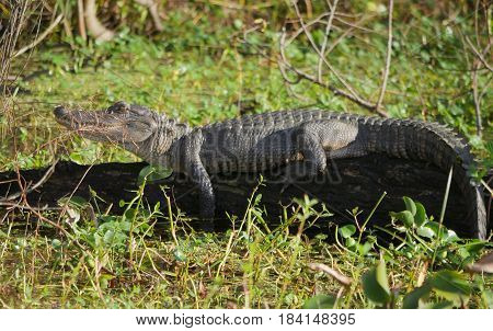 Alligator on a trunk An alligator suns itself on top of a fallen tree.