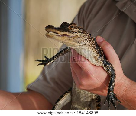 Baby alligator A man holds a baby alligator in his hand