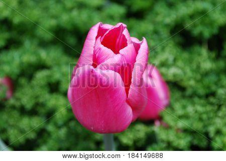 Garden with a single dark pink tulip flowering