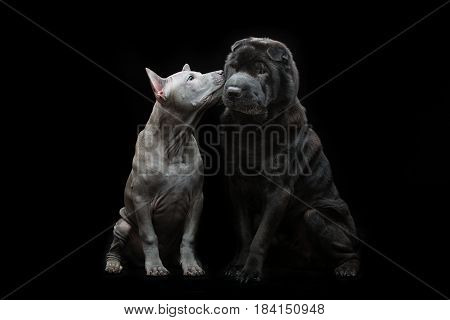 Beautiful old black purebred shar pei dog and cute blue thai ridgeback puppy sitting and kissing over black background. Copy space.