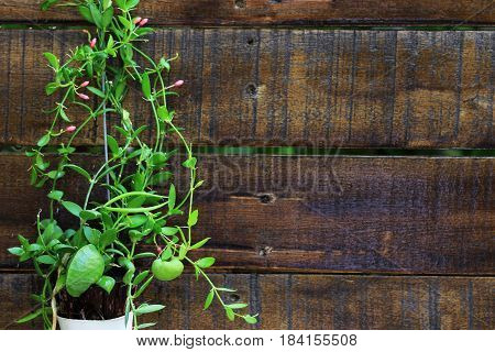 Ant Plant Dischidia Pectinoides with Wooden Background and space for text