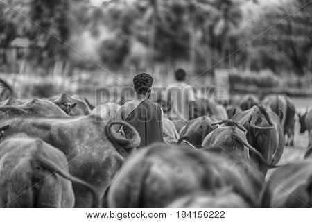 Buffalo In The Field ,buffalo Thailand